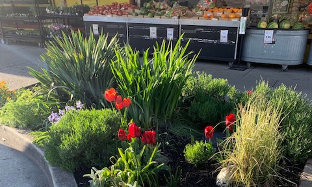 One of 33 gardens that beautify our business district. This one is located at Fraser & 45th and maintained by volunteer Sherry Loof.